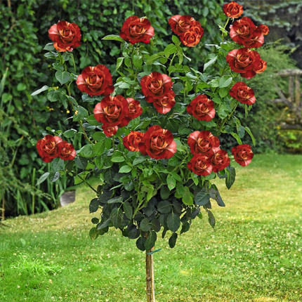 Роза штамбовая Файер Крек 2 прививки