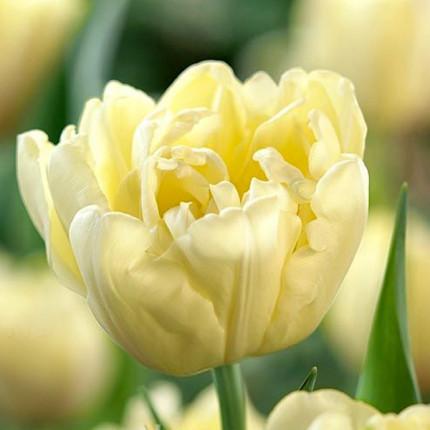 Тюльпан махровий Avant Garde 12/+