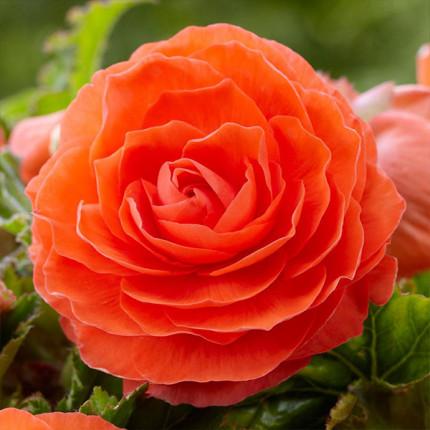 Бегония Махровая Оранжевая супер ранняя