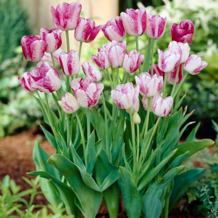 Тюльпан Многоцветковый Candy Club 11/12