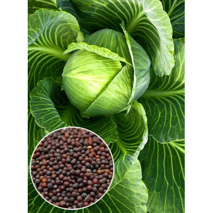 Капуста Харьковская зимняя весовая (семена) 1 кг