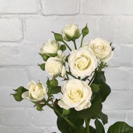Троянда спрей Вайт Леді (White Lady)  клас АА