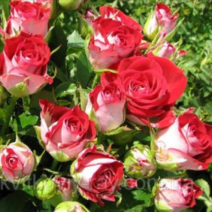 Троянда спрей Рубі Стар клас А