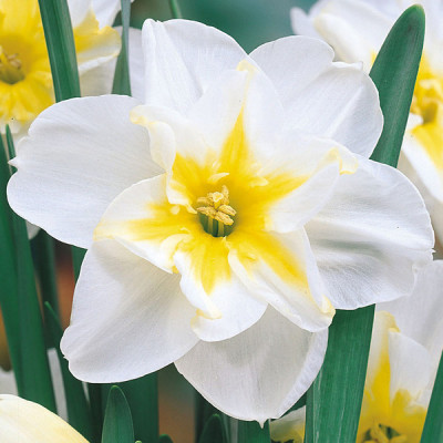 Нарцисс Split corona Lemon Beauty 10/12 - оптом