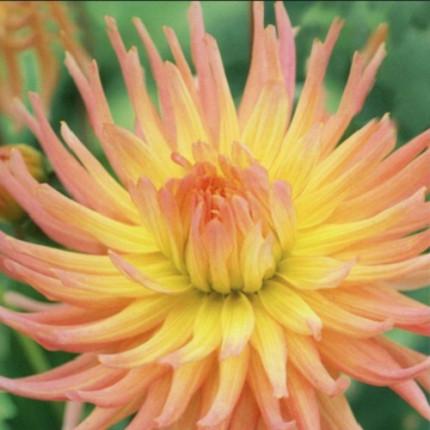 Жоржина кактусова Apricot Star