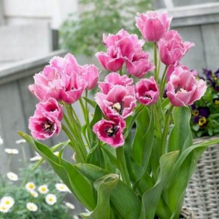 Тюльпан Многоцветковый Fringed Family 10/11