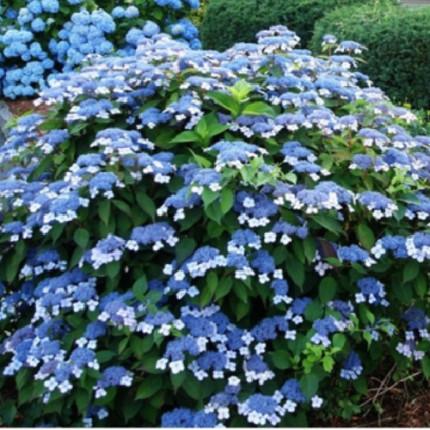 Гортензия Bluebird пыльчатая (контейнер 2.5 л)