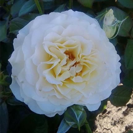 Троянда англійська Ескалібур клас А