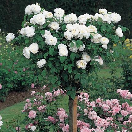 Роза штамбова Біла Сенсація 2 прививки