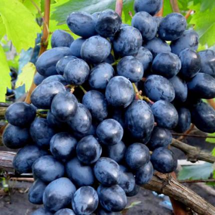 Виноград кишмиш Осінній Королівський (упаковка-пакет)