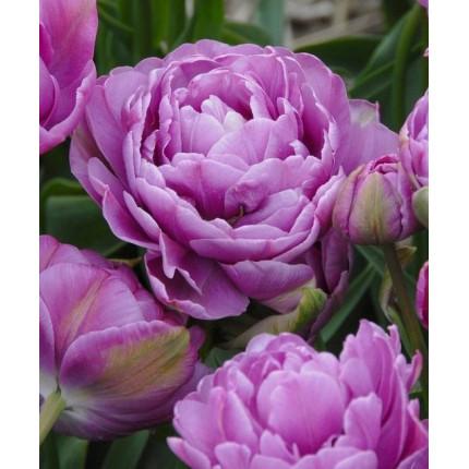 Тюльпан Махровый + Многоцветковый Lilac Perfection 10/11