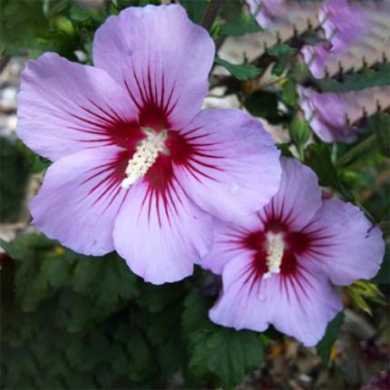 Гібіскус сірійський Pink Flirt (контейнер 0.5 л)