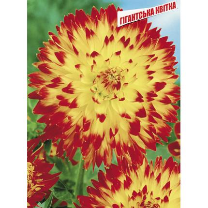 Жоржина з гігантською квіткою Procyon
