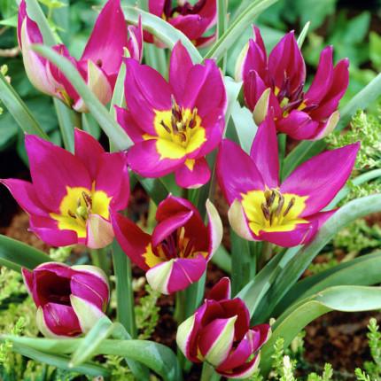 Тюльпан Ботанический Pulchella Persian Pearl 5/+