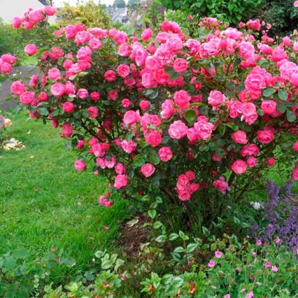 Троянда флорібунда Анжела клас А