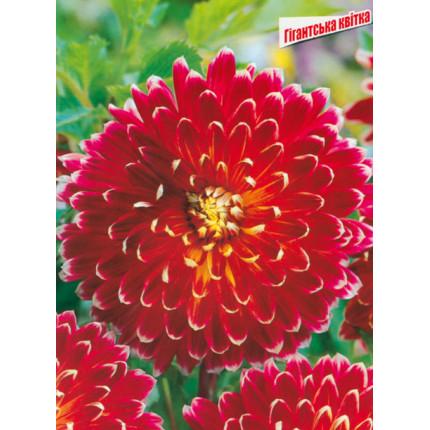 Жоржина з гігантською квіткою Akita