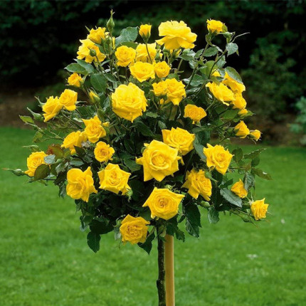 Роза штамбовая Керн 2 прививки