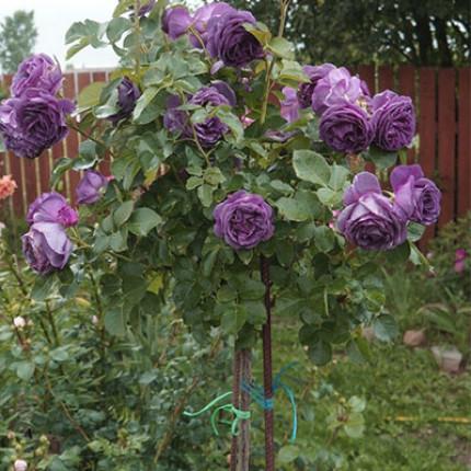 Троянда штамбова Блу Мун (плетиста) 1 прививка