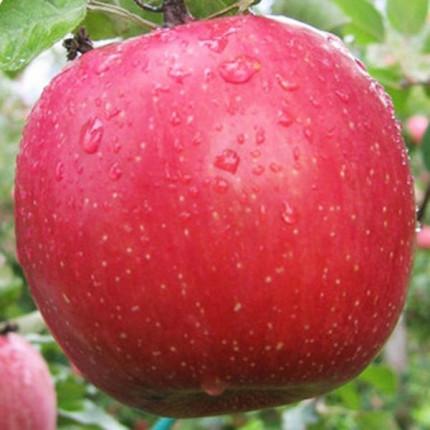 Яблоня Фуджи 1 класс