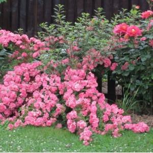 Розы Почвопокровные в контейнере (горшок)