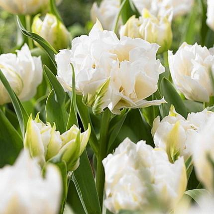 Тюльпан Махровый + Многоцветковый Cardinal Mindszenty 10/11