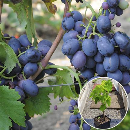 Виноград Фуршетный (контейнер)