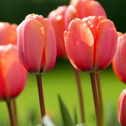 Тюльпан гібрид Дарвіна Apricot Impression 12/+