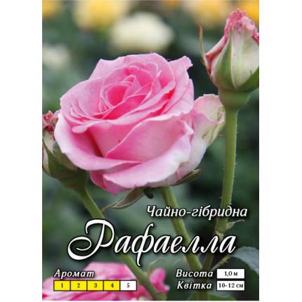 Роза ч/г Рафаелла (контейнер)