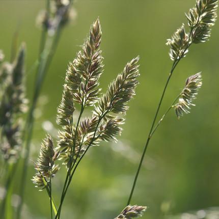 Трава многолетняя Грястица 1 кг
