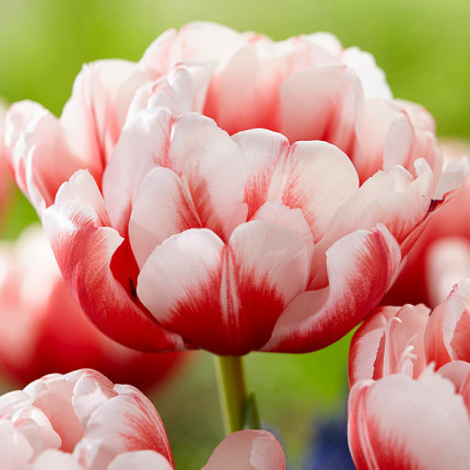 Тюльпан махровий Viocemail 12/+