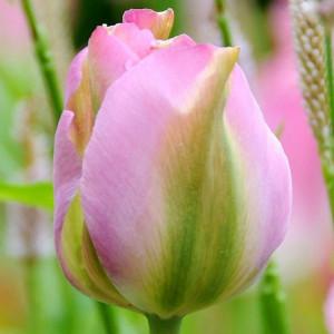 Тюльпаны Виридифлора