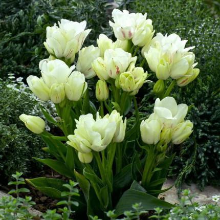 Тюльпан Многоцветковый Rosy Bouquet 10/11