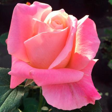 Троянда ч/г Єва  клас А