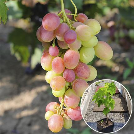 Виноград Анюта (контейнер)