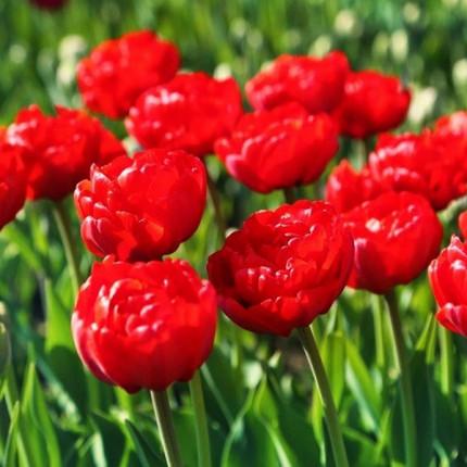 Тюльпан Махровый + Многоцветковый Robinho 10/11