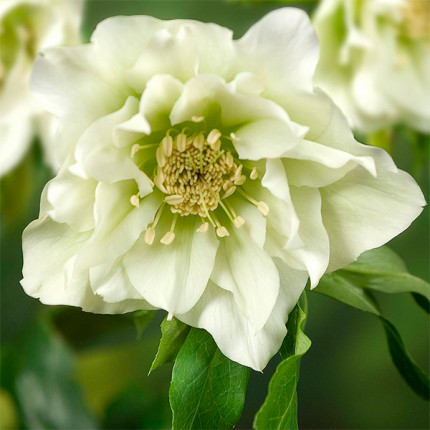 Морозник махровый Hybrids White Promise