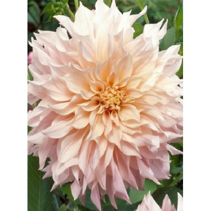 Жоржина з гігантською квіткою Cafe Au Lait