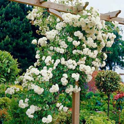 Троянда штамбова Мон Блан 1 прививка