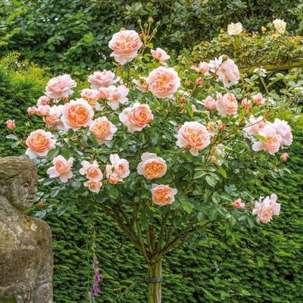 Роза штамбовая Сэр Ланселот 2 прививки