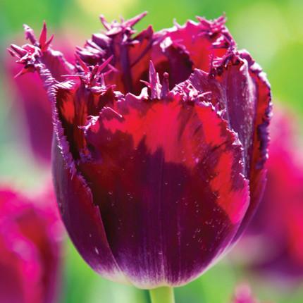 Тюльпан бахромчатый Purple Crystal 12/+