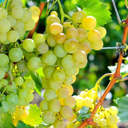 Виноград Андрійчик (Італійський Н. Н.)
