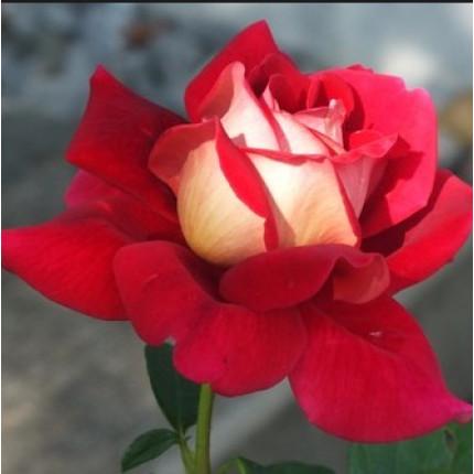 Троянда штамбова Кроненбург 1 прививка