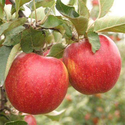 Яблуня Джонаголд 1 клас