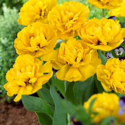 Тюльпан Махровый Yellow Pomponnette 10/11