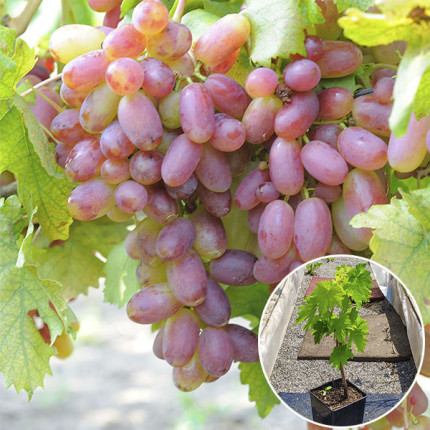 Виноград Преображение (контейнер 2л)