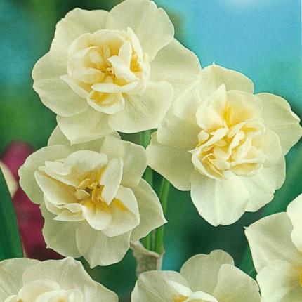 Нарцисс многоцветковый Cherfulness 10/12
