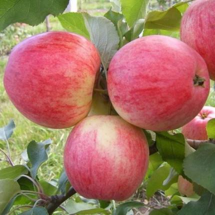Яблуня Медова 1 клас