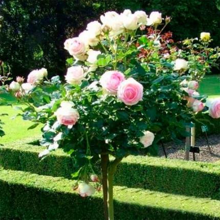 Троянда штамбова Едем 1 прививка