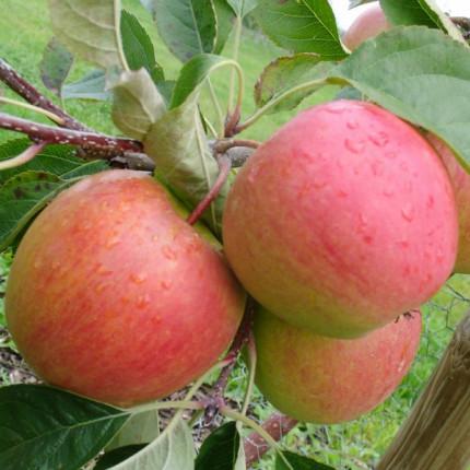 Яблуня Пінова 1 клас