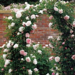 Розы Плетистые в контейнере (горшок)